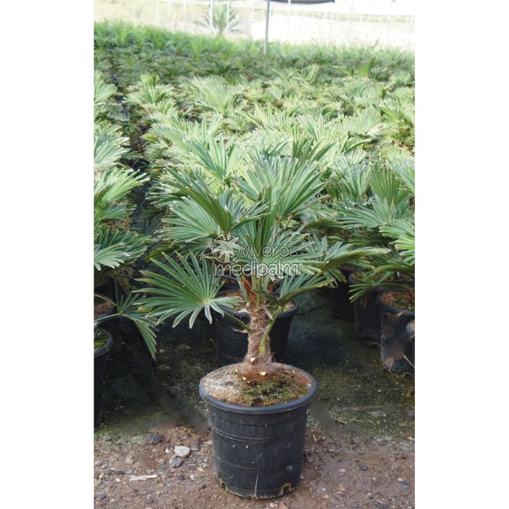 trachycarpus fortunei small example placed at centre of bed so children don 39 t play with leaves. Black Bedroom Furniture Sets. Home Design Ideas