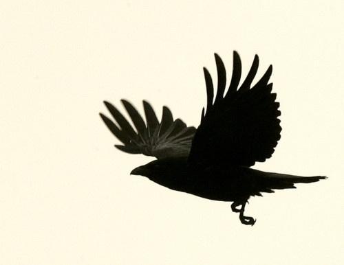 flightTattoo Ideas, Crows Ravens, Patricks Wilkens, Birds Reference, Black Wings, Art Ravens, Static Flight, Black Birds, Crows Tattoo