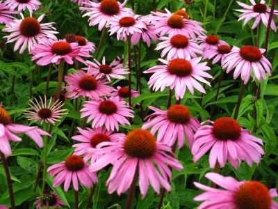 Herbal remedy: Echinacea can be used as an herbal remedy to boost the immune system.