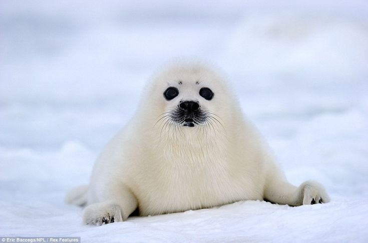 at me? A baby harp seal looks at photographer Eric Baccega's camera as it works out its new world in Canada