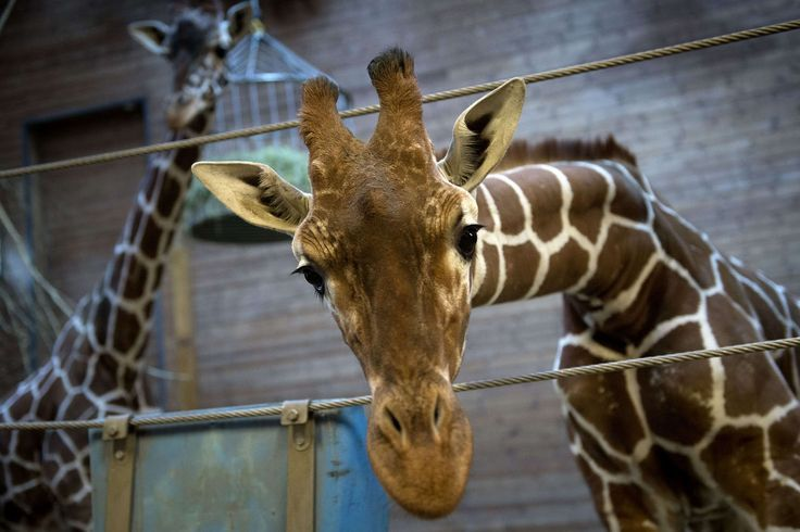 Marius, a healthy young giraffe, was killed by a bolt gun to the head, then butchered in front of children and fed to lions at Copenhagen Zoo
