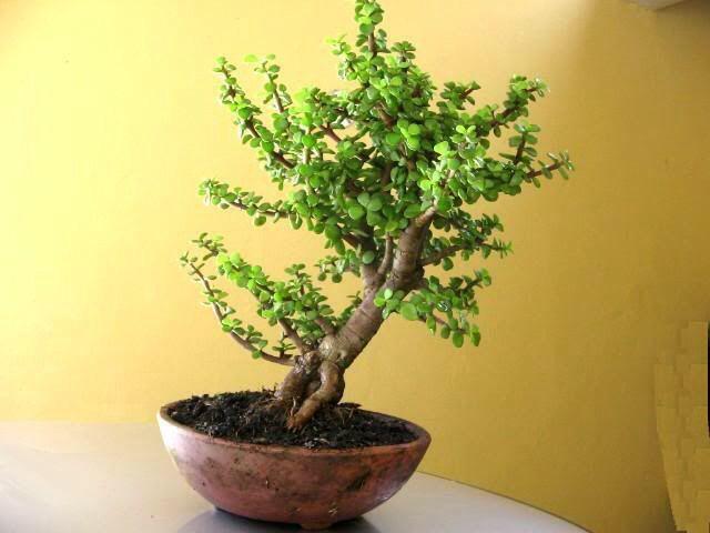 Bonsai Arbol de la abundancia. En bonsai o maseta, puede vivir en el interior con sus cuidados correspondientes.