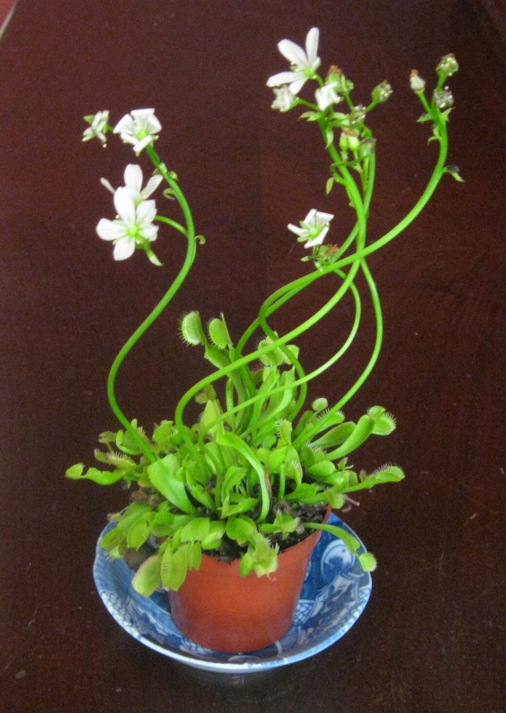 how to water venus fly trap