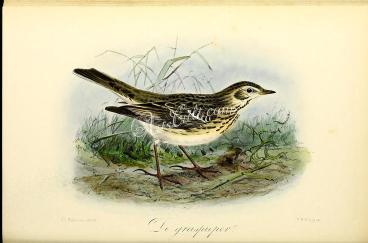 Meadow Pipit      ...