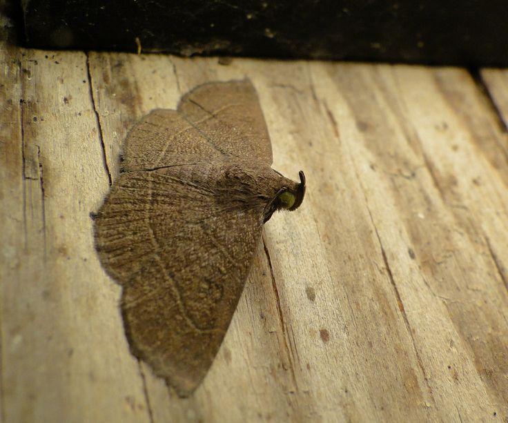 Unique Tropische Tiere Jungferninseln Nationalparks Brown Moth