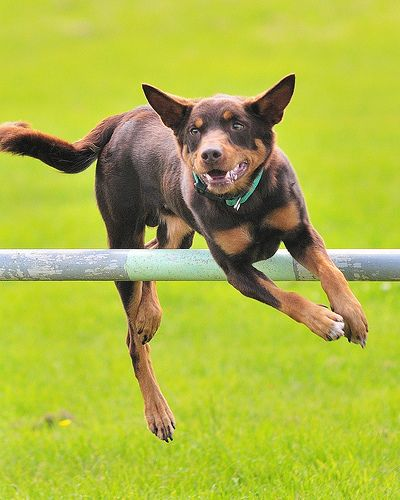 Competing in agility with a Kelpie.. I THINK YES :D
