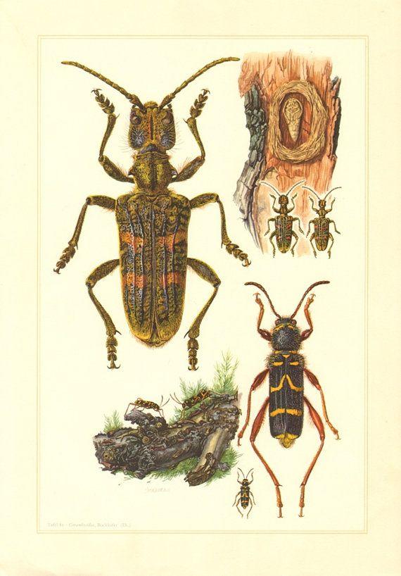 1956 Longhorn Beetles Cerambycidae Rhagium by CabinetOfTreasures