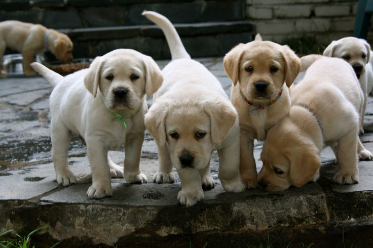 yellow labs.