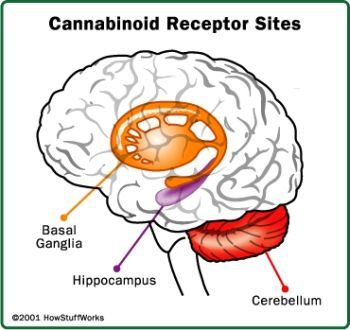 Cannabinoids – Every body likes them; some bodies need them | Patients for Medical Cannabis