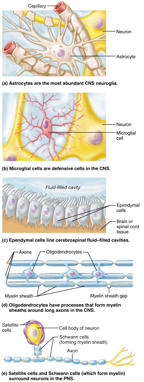 9 best Neuron images on Pinterest   Nervous system, Neuroscience and ...