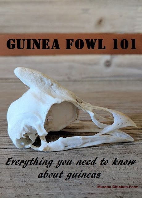 Raising guinea fowl. From keets to breeding and everything in between. A collection of 12 guinea articles.