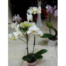 2 dallı beyaz orkide seramik saksıda