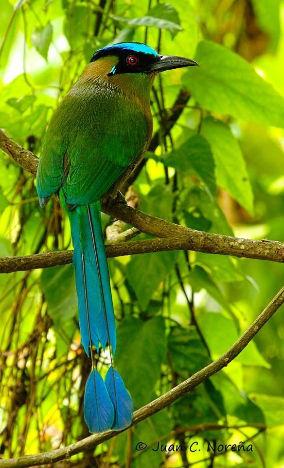 Barranquero Andino (Momotus aequatorialis)2