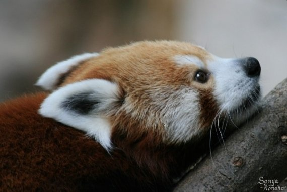 red pandas are painfully cute