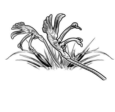 Kangaroo Paw - Illustrated by Glenn Lumsden