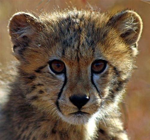 Young cub spotted at Shiduli