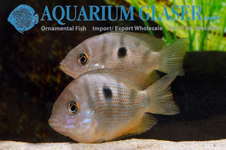 Etroplus maculatus  The #Indian #cichlid, #Etroplus #maculatus, is a very popular #aquarium #fish and never disappeared after its first importation again. Recent research suggests that Etroplus is not a close relative of the cichlid #family, but rather of the #damselfishes (#Pomacentridae). However that does not mean anything for the hobby.  Etroplus maculatus can be kept and bred in pure #fresh or #brackish #water. The sexes are equal regarding colour and finnage, but males are always…