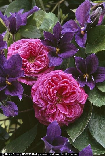 """Bourbon Rose - """"Mme Isac Pereire"""" in combination with Clematis x Durandii"""