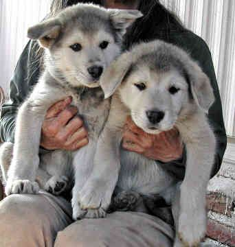 Wolf-hybrids...Daniel would love to have this pair!