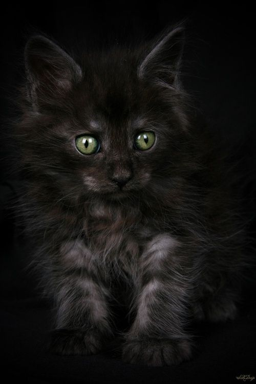 Gorgeous little bit of fluff.  Black kitten.   Sorcerer by Stephie Kaczala :) by Janny Dangerous.