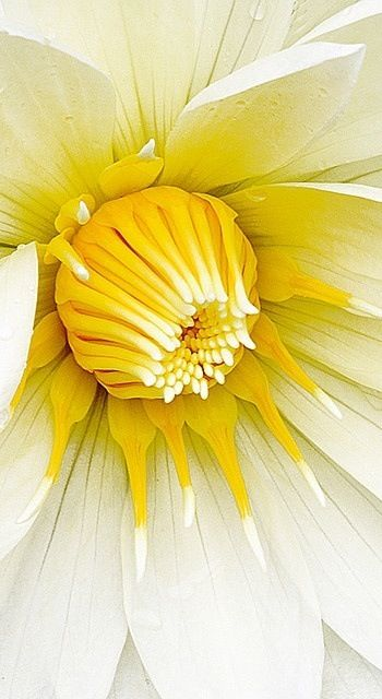 * White & Yellow Dahlia - Dahlia's make the most incredible cut flowers.