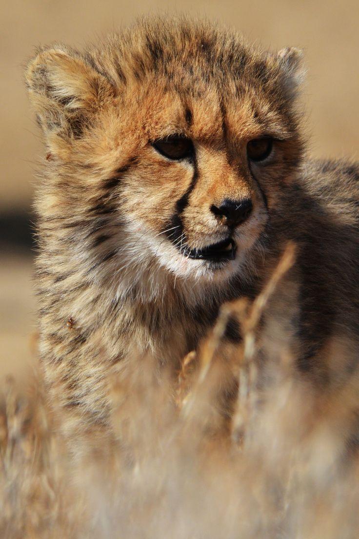 Cheetah cub seen near the Kransbrak Water Hole