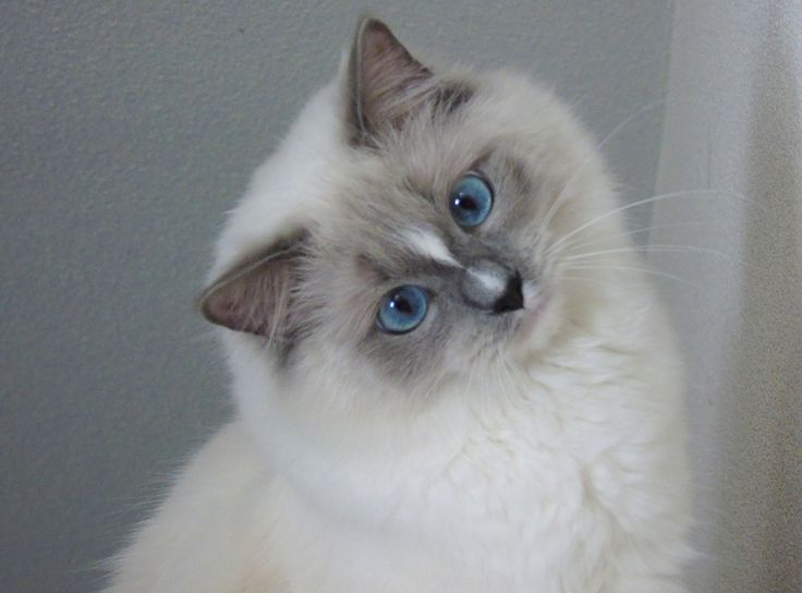 how to make a ragdoll cat on the sims 3