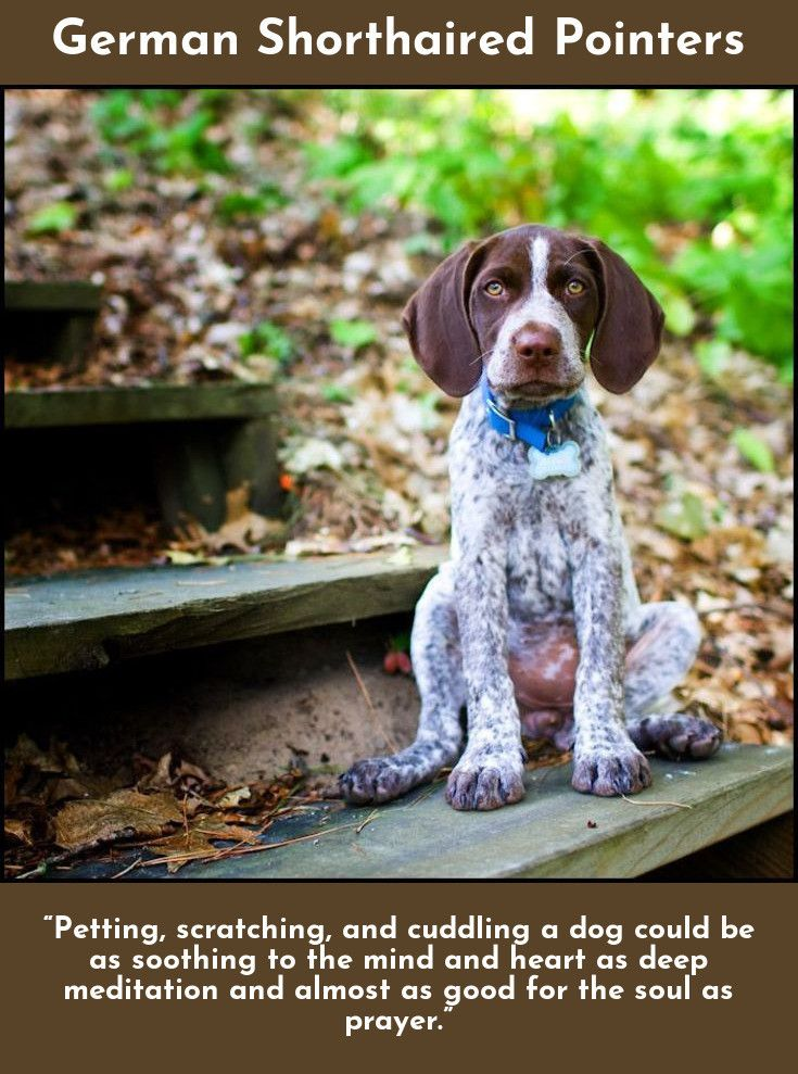 7 Best Dogs Breeds For People Allergies Pointer Puppies German