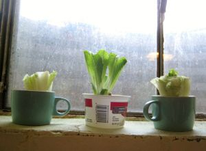 REGROW ROMAINE LETTUCE: Leave a few inches from the bottom of the heart when chopping up. Trim off the outer leaves of your starter heart, since they'll turn brown. Place in about a half-inch water. Change water every day or so, and let them get some light. Let it grow for a while before enough to harvest and start the process over again. If you want, you can even take the newly-sprouted hearts and plant them right in the ground.