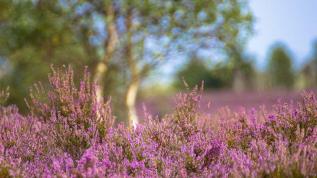 Heideblüte in der Lüneburger Heide. Location: Pietzmoor, Schneverdingen, Niedersachen, Germany TAGS: Heather, Erica, Landschaft, Natur, Blumen, Flowers