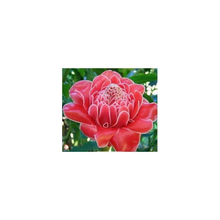 Zázvor ružový okrasný - Etlingera elatior - semená zázvoru - 3 ks