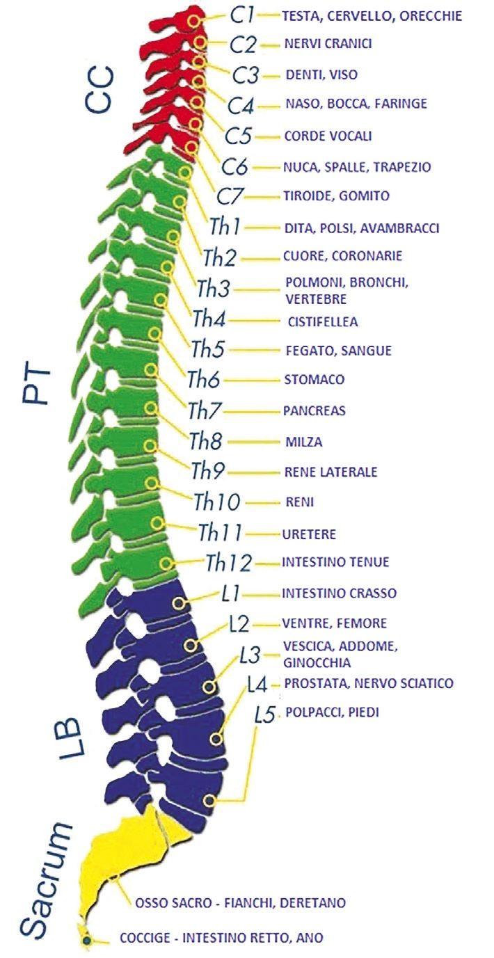 Tramite il sistema nervoso, la colonna vertebrale è collegata agli organi.. Mantenerla in salute nel tempo ci regala un corpo in salute!
