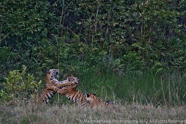 tiger cubs at it again  via Flickr.