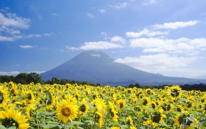 Mount Yōtei in Hokkaido. #Sunflowers