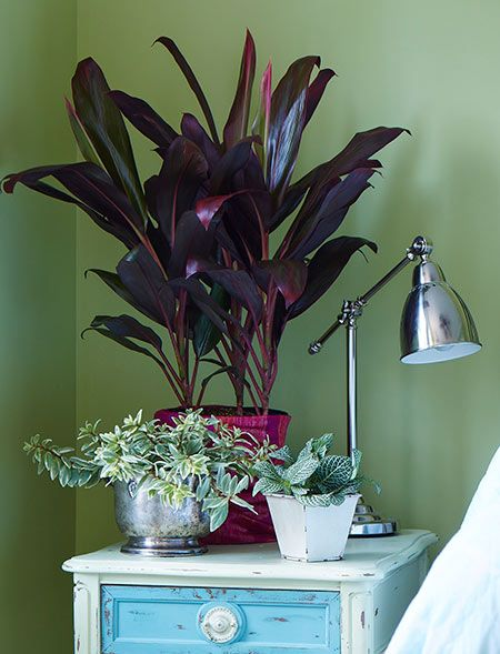 picturesque best large house plants. Learn how to grow ti plant  a beautiful colorful shrub you can outdoors or as houseplant 22 best Colorful Houseplants Decorate Your Home Office images