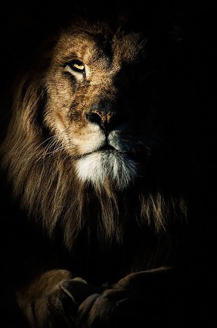 Lion - The lion is considered and said to be the King of the Jungle.  Despite the fact that he is only the 2nd largest member of the cat family, the lion deserves the title due to his majestic appearance and position as top predator.