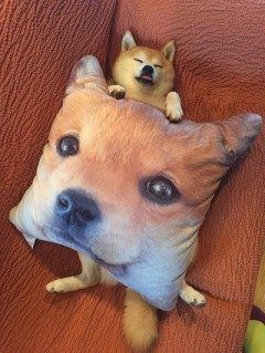 しまむらで買ったという柴犬のクッションを抱いて寝る柴犬がカワイイ このワンちゃん仰向けで寝るのがお気に入りみたい() この寝顔は超癒される()
