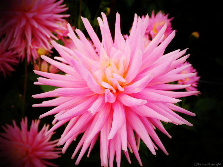 Pink Pins