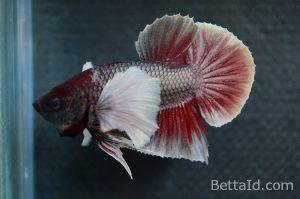 Ikan Cupang Big Ear Red Cooper BE6. Jenis plakat big ear, warna dominan merah, kondisi ikan sehat, tubuh proporsional, dan sirip ikan balance. #ikan #cupang #bigear #ikancupang #bettafish