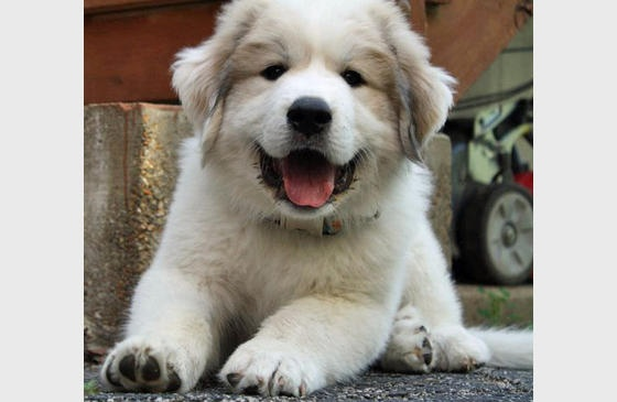 Great Pyrenees puppy. Adorable.
