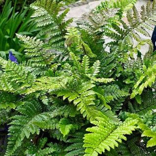 Christmas Fern holds onto its evergreen leaves throughout winter.