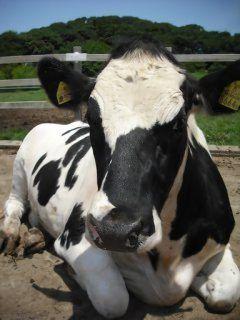 神奈川県横浜市の雪印こどもの国牧場は広大な敷地面積を持つ公園のこどもの国の中にある牧場 約50頭の乳牛や羊が飼われていて餌付け体験ができたりポニーに乗れたりと面白い牧場なんだよ 牧場以外にも遊具やミニSL湖など遊べる設備が沢山あるから幅広い世代の人が楽しめるのが魅力 tags[神奈川県]