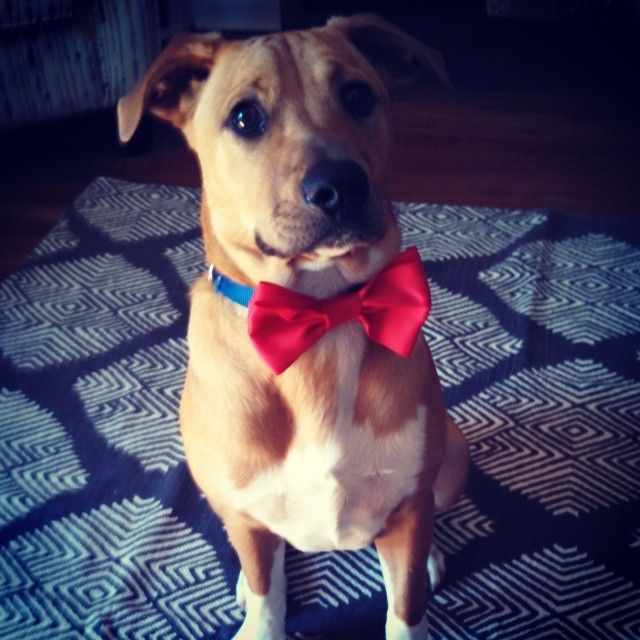 Vote for him!   Gretzky or G-baby as he's known to his friends and family is rescue pup from Wags Rescue in PA. He came to live with his forever family in January 2014. G-baby loves squeaky toys, especially his purple pig, and long walks at night.