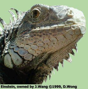 The Green Iguana Society is dedicated to providing quality information on iguana care as well as information on current adoptions and rescues throughout the ... & 33 best Iguana Care images on Pinterest | Iguanas Exotic animals ...