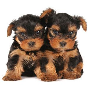 Precious PuppiesFunny Pets, Terriers Puppies, Beautiful Animal, Small Dogs, Popular Dogs, Animal Rules, Pets Group, Animal Farms, Adorable Animal
