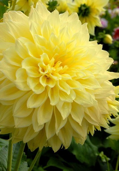 Old House Gardens Heirloom Bulbs - Kelvin Floodlight Dahlia (3-5'), (this color is beautiful!)