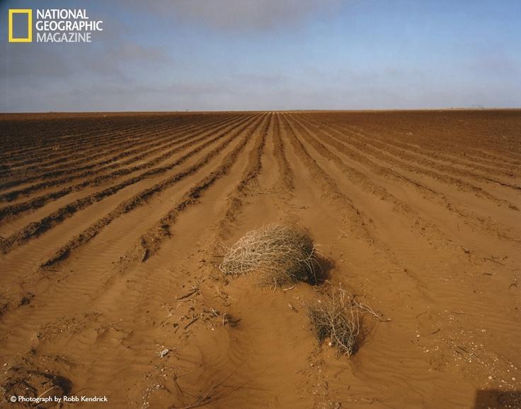 """Esta estepicursor (plantas rodadoras) fue capturada en los surcos de un campo de algodón sin plantar cerca de Brownfield, Texas. Los fuertes vientos y una ola de calor sin precedentes condujeron a una erosión perjudicial. Buzz Cooper, director de la planta de algodón, comentó """"Fue como un ventilador en un horno caliente""""."""