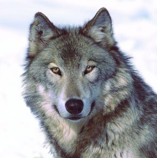 foto lupo grigio immagine