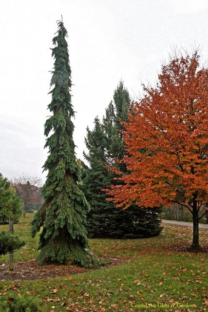Picea glauca 'Pendula'; Weeping White Sprune: one of the most outstanding conifers in my garden