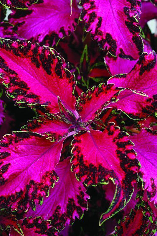 Hot-pink leaves with ruffled, variegated borders edged with a thin line of light green make Solenostemon 'Pink Chaos' look like an explosion of neon paisley. Grows 6 to 18 inches tall.